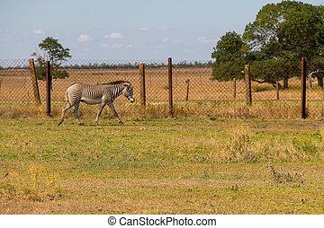 Plains zebra (Equus quagga) - Plains zebra (Equus quagga,...