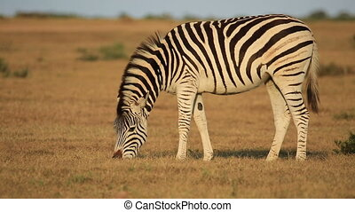 A plains (Burchells) Zebras (Equus burchelli) grazing in grassland, South Africa