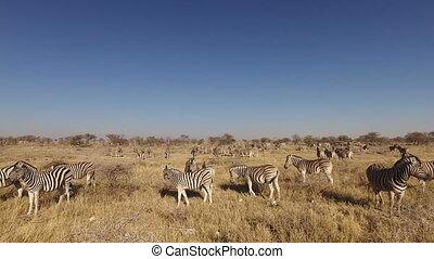 Plains zebra herd - Etosha - Herd of plains zebras (Equus...