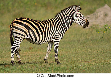 Plains Zebra - Plains (Burchells) Zebra (Equus quagga),...
