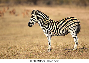 Plains Zebra - Plains (Burchell's) Zebras (Equus quagga),...
