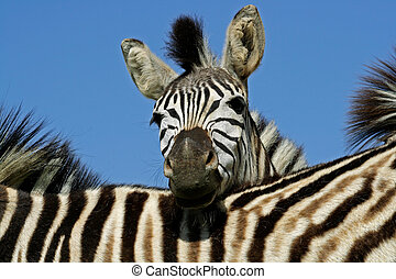 Plains Zebra portrait - Portrait of a Plains (Burchell\\\'s)...