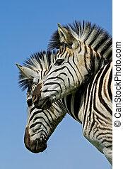 Plains Zebra portrait - Portrait of two Plains...