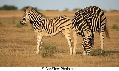 Plains zebra (Equus burchelli) mare with foal in natural habitat, South Africa