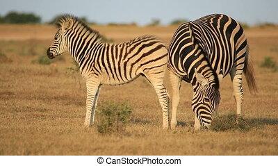 Plains zebra with foal - Plains zebra (Equus burchelli) mare...