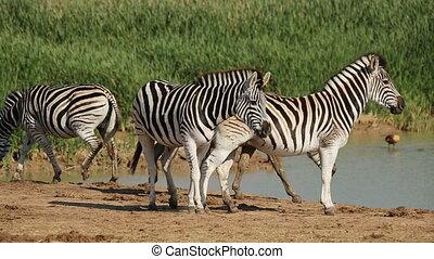 Plains Zebras at waterhole