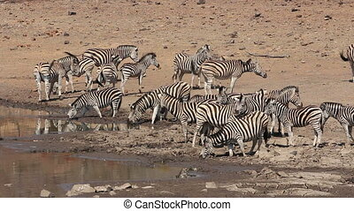 Large herd of plains (Burchells) zebras (Equus burchelli) drinking water, Pilanesberg National Park, South Africa