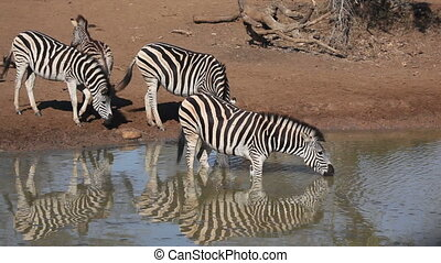 Plains (Burchells) Zebras (Equus burchelli) drinking at a waterhole, Mkuze game reserve, South Africa