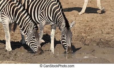Plains Zebras drinking