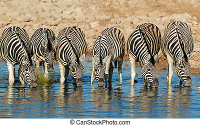 Plains Zebras drinking water - Plains (Burchells) Zebras...