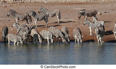 Plains zebras drinking water - Plains (Burchells) zebras...