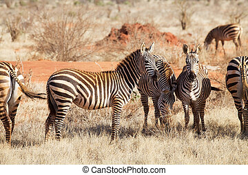 Plains zebras (equus burchellii) - Plains zebras (Equus...