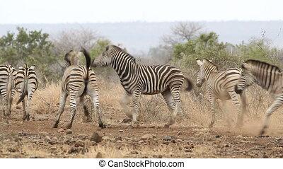 Two Plains (Burchells) Zebras (Equus burchelli) fighting, Kruger National Park, South Africa