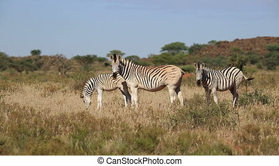 Plains (Burchells) Zebras (Equus burchelli) grazing in grassland, South Africa
