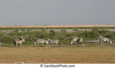 Plains (Burchells) Zebras (Equus quagga burchelli) grazing, Amboseli National Park, Kenya
