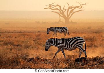 Plains zebras in dust - Plains zebras (Equus burchelli)...