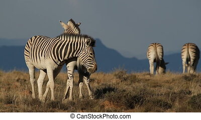 Interacting plains (Burchells) Zebras (Equus burchelli) against a blue sky, South Africa