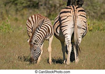 Plains Zebra mare with foal, Etosha National park, Namibia