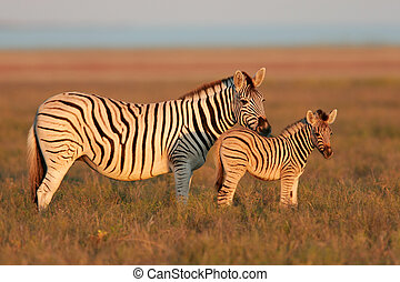 Plains Zebras - Plains Zebra mare with foal in early morning...