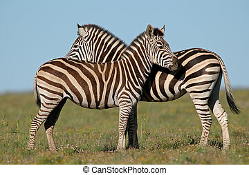 Plains Zebras - Two Plains (Burchells) Zebras (Equus...