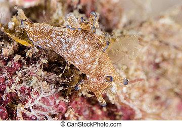 Plakobranchidae Nudibranch, Sea Slug - Plakobranchidae is a...