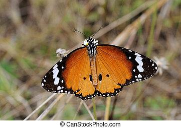 planície, borboleta tigre
