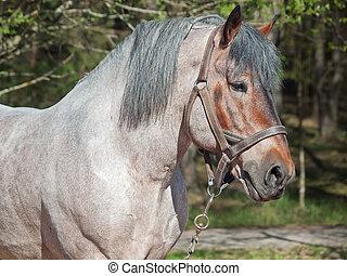 plan preliminar, retrato, horse., belga