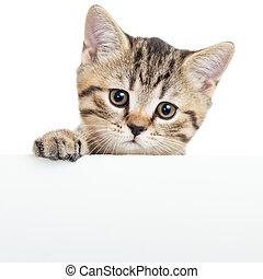 planche, chaton, vide, isolé, affiche, chat, pendre, sur, blanc, ou