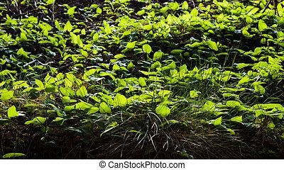 plancher, éclairé, végétation, forêt