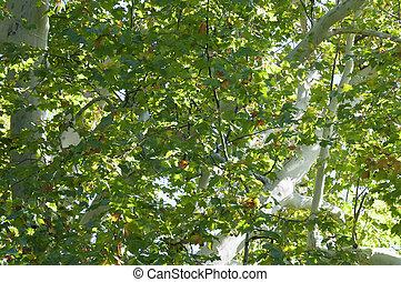 Plane tree detail
