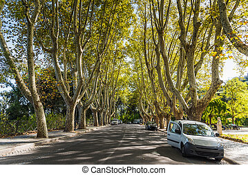Plane trees in Promenade of the Janiculum in Rome, Italy