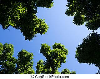 plane trees treetop