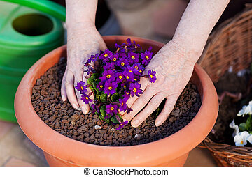 Planing primrose - Human hands planting a primrose in the...