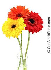 plano de fondo, aislado, gerbera, flor, blanco
