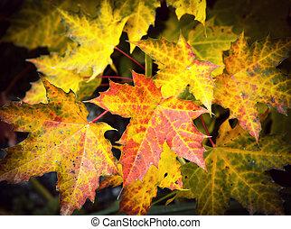 plano de fondo, con, hojas del arce del otoño