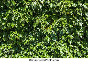 plano de fondo, de, follaje verde, en, sunnyday