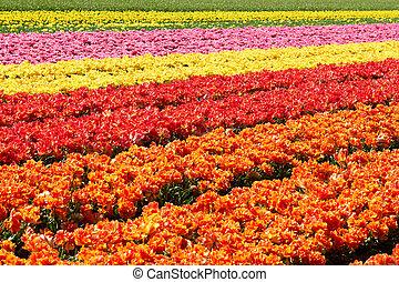 plano de fondo, de, tulipanes, campo, diferente, colores, en, holanda