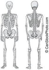 plano de fondo, espalda, vistas, esqueleto, aislado, frente, blanco
