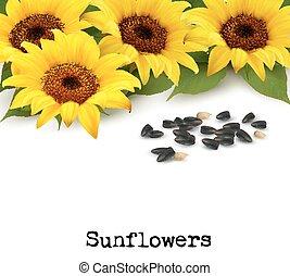 plano de fondo, seeds., girasoles, girasol, vector.