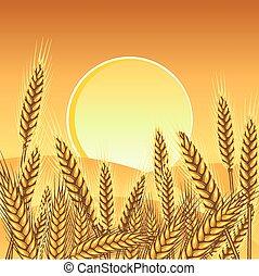 plano de fondo, trigo, amarillo, maduro, orejas