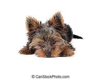 plano de fondo, yorkshire, perrito, 3, colocar, dulce, (in, ...