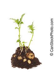 plant, aardappel