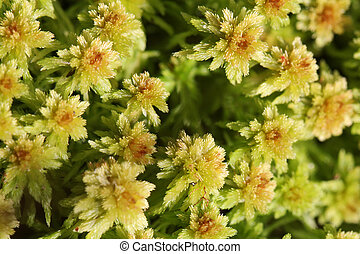 Plant background of Sphagnum moss - Close up view of green...
