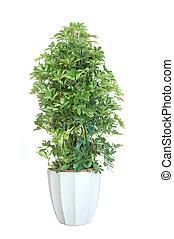 Plant bonsai - Schefflera arboricola house plant in flower...