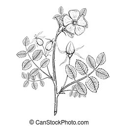Plant briar. Stock illustration. - Plant briar with Flower ...
