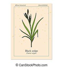 plant, carex, medicinaal, black , zegge, nigra