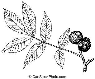 Plant Carya glabra (Pignut hickory) - Branch of Plant Carya...