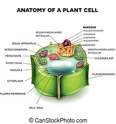 Plant Cell structure, cross section of the cell detailed ...
