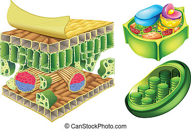 Plant cells - Illustration of the plant cells on a white...