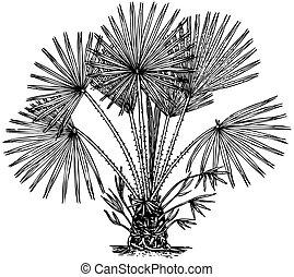 Plant Chamaerops humilis